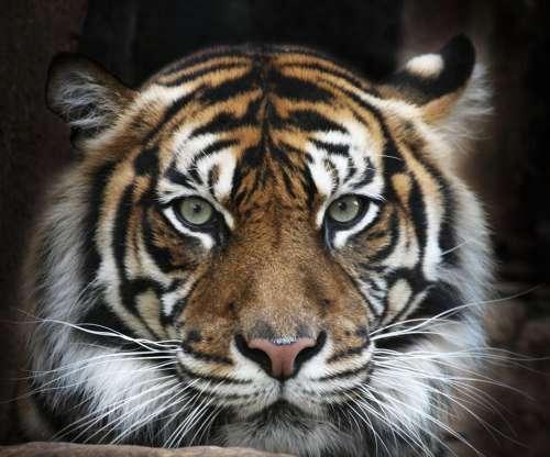 картинки на рабочий стол тигры № 512109  скачать